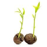 Rośliny kiełkowanie zdjęcia royalty free