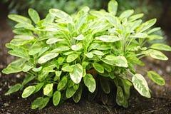 rośliny mędrzec Fotografia Stock