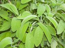 rośliny mędrzec Zdjęcia Stock