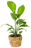 rośliny okno Obraz Royalty Free