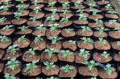 Rośliny pepiniera Meksykański nagietka kwiat z ryżową sieczką Obrazy Stock