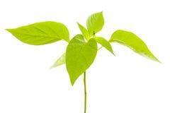 rośliny pieprzowa Obrazy Stock