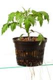 rośliny pomidoru potomstwa Obrazy Royalty Free