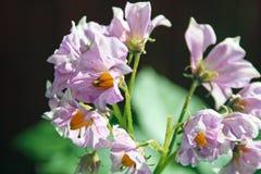 rośliny potatoe zdjęcie stock