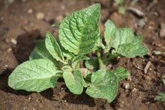 rośliny potatoe potomstwa Zdjęcia Stock