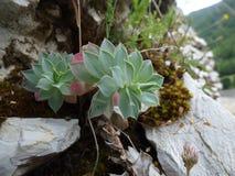 Rośliny r na skałach Zdjęcia Royalty Free