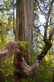 Rośliny Valdivian temperate tropikalni lasy deszczowi w południowym Chile chilijczyka Patagonia Obrazy Royalty Free