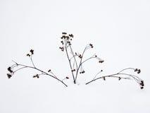Rośliny w śniegu Fotografia Royalty Free