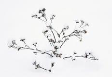 Rośliny w śniegu Obrazy Stock