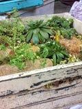 Rośliny w białym drewnianym pudełku, sukulenty, liścia mini ogród zdjęcie stock