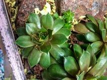 Rośliny w białym drewnianym pudełku, sukulenty zamykają up zdjęcie stock