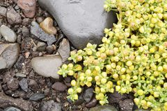 Rośliny w Iceland - kolorów żółtych kwiaty Zdjęcia Royalty Free