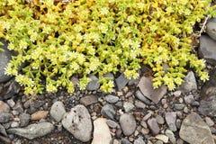 Rośliny w Iceland - kolorów żółtych kwiaty Zdjęcia Stock