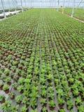 Rośliny w perspektywie w szklarni przy rozpłodnikiem Fotografia Royalty Free
