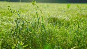 Rośliny w rosie wcześnie w ranku zbiory wideo