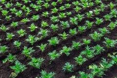 Rośliny w ziemi zasadzającej w rzędach zasadzają pepinierę Zdjęcia Royalty Free