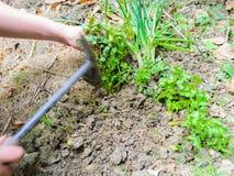 Rośliny warzywo Zdjęcie Royalty Free