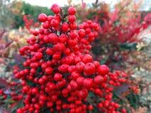 Rośliny z czerwonymi piłkami w ogródzie zdjęcia stock