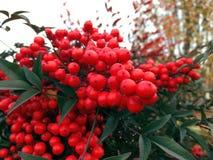 Rośliny z czerwonymi piłkami w ogródzie 2 obraz royalty free