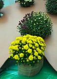 Rośliny z kwitnącymi koloru żółtego i purpur kwiatami w flowerbed Zdjęcie Royalty Free