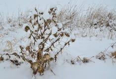 Rośliny zakrywać z mrozem, południowa cyganeria Fotografia Royalty Free