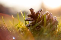 Rożek sosna Zdjęcie Stock