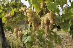 Rożki dojrzali biali winogrona zdjęcia royalty free
