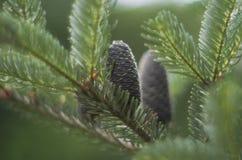 Rożki Koreańska jodła - Abies koreana zielonego colour zdjęcia royalty free