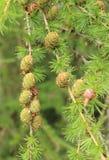 Rożki na iglastym drzewie Fotografia Stock
