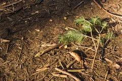 Rożki na ziemi obok gałąź od jedli w lesie w jesieni obraz stock
