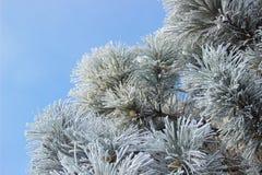 Rożki w śnieżystej jodle rozgałęziają się niebieskiego nieba tło Zdjęcia Royalty Free