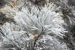 Rożki w śnieżystych jodeł gałąź Zdjęcia Royalty Free