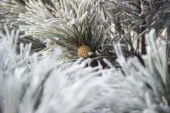 Rożki w śnieżystych jodeł gałąź Obrazy Royalty Free