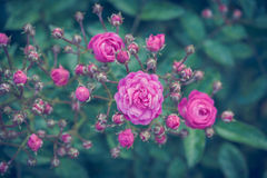 ro Royaltyfri Foto