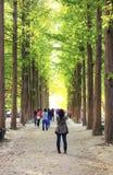 Ro av sörjer trees på den Nami ön, Korea Royaltyfria Bilder