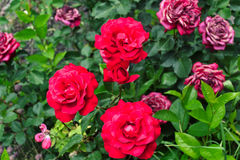 ro för gröna leaves för isolering för bakgrundsdof blir grund röda white Royaltyfria Foton