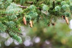 rożki spruce drzewa Obrazy Stock