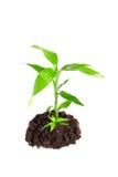 roślina Zdjęcie Royalty Free