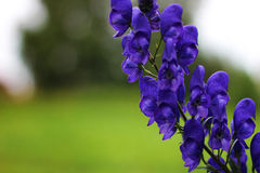 Roślina akonit Zdjęcia Royalty Free