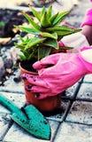 Roślina aloes w garnku Zdjęcia Stock