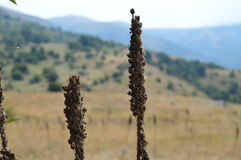 Roślina 'baturica' na górze Zdjęcie Royalty Free