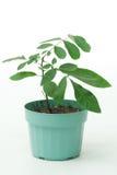 roślina garnek Zdjęcia Royalty Free