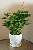 roślina garnek Obraz Royalty Free