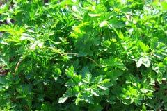 Roślina jest condiment Obrazy Royalty Free