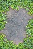Roślina kamienia deska. Obrazy Stock