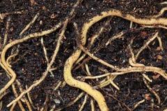 roślina korzenie Zdjęcie Stock