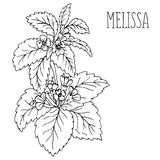 Roślina Melissa Obrazy Royalty Free