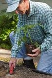 roślina najpierw pomidor Zdjęcie Stock
