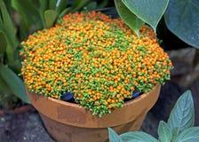 Roślina Nertera (koralowy mech) Zdjęcie Royalty Free