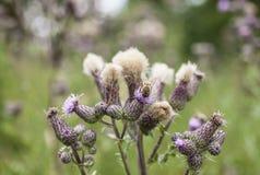 Roślina oset Zdjęcie Royalty Free